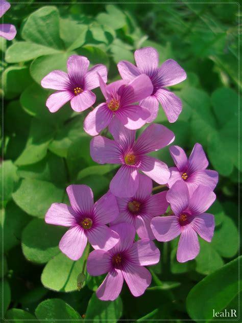 Purple Cover by Purple Clover Flowers By Cuzzycutegirl On Deviantart
