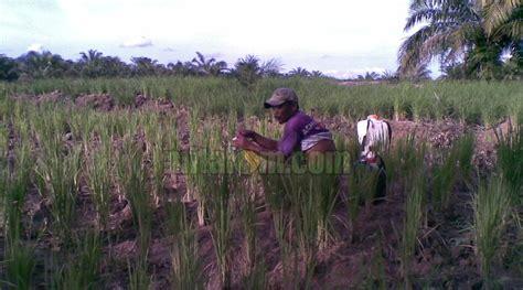 gambar tanaman padi kekurangan unsur hara mitalom