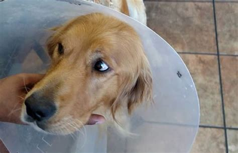 fergus golden retriever golden retriever makes astounding recovery after being tortured and set on