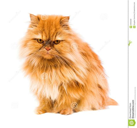 Persian Cat Royalty Free Stock Images   Image: 23563259