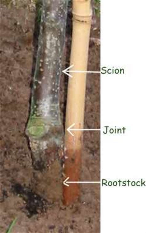 scion and rootstock how to grow plums 171 gardenmefast