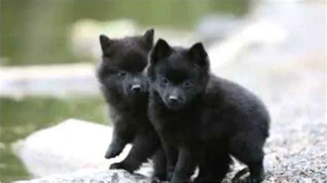 schipperke puppy top 10 amazing facts about schipperke schipperke puppies