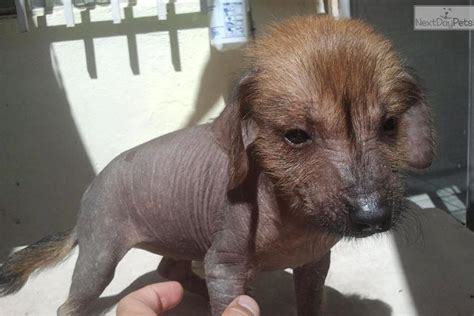xoloitzcuintli puppies xoloitzcuintli puppy for sale near el paso db4e2783 9fc1