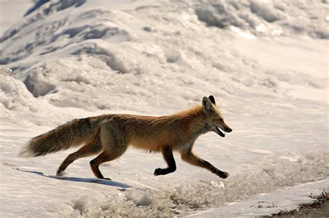 one fox running fox 1 flickr photo