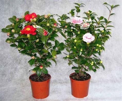 come curare le roselline in vaso camelia in vaso piante da giardino come coltivare la