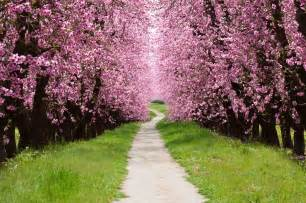 the cherry tree path knever knever land