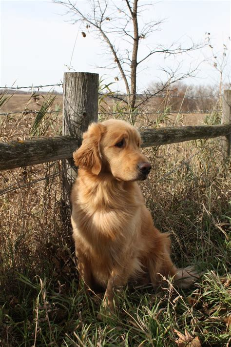 golden retriever obedience 582 best images about retriever golden on the