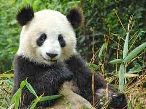 wallpaper panda hitam putih unik 7 hewan berwarna hitam putih berita tentang