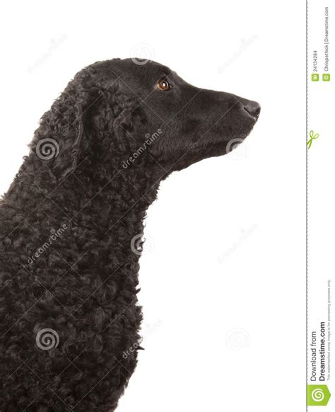 Curly Coated Retriever In Bow Tie Royalty-Free Stock Photo ...