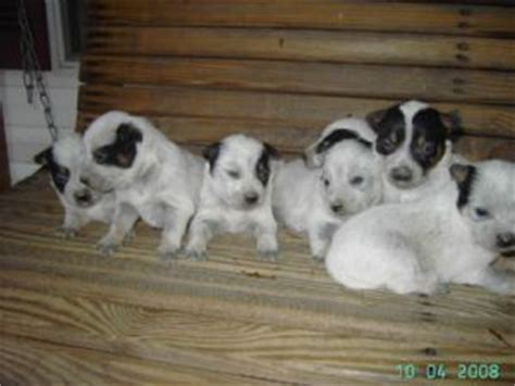 blue heeler puppies for sale in tn australian cattle puppies for sale