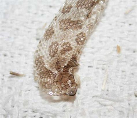 thehognosesnake co uk care sheet description