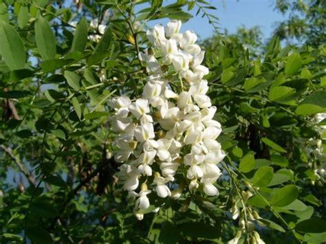 sephora fiori honingboom sophora japonica sierbomem