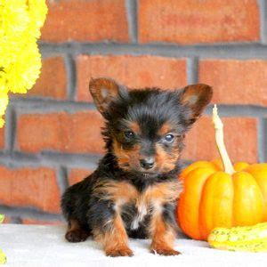 yorkie puppies orlando yorkie puppies for sale