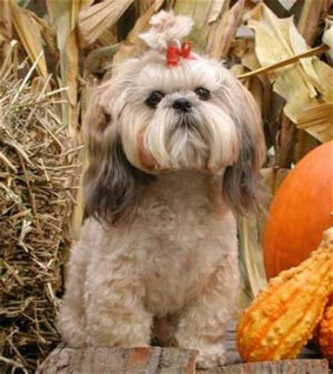 housebreaking a shih tzu shih tzu breed information and photos thriftyfun