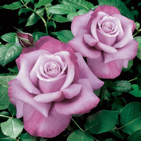 barbra streisand the rose rose barbra streisand hybrid tea garden pinterest