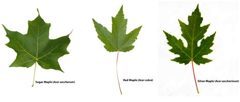 maple tree guide colton pierrepont ecology unit nature up