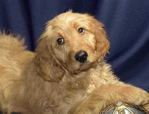 cross between golden retriever and poodle goldendoodle puppies for sale