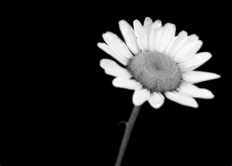 Black And White Daisy Wallpaper | 18 daisy black and white 14581 hd wallpapers 444 white