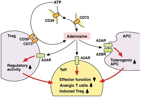 frontiers regulatory mechanisms in surface frontiers extracellular adenosine mediated modulation of