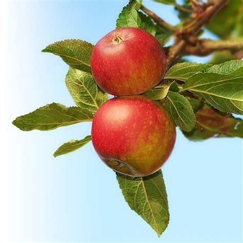 apple tree apple trees for sale fast growing trees
