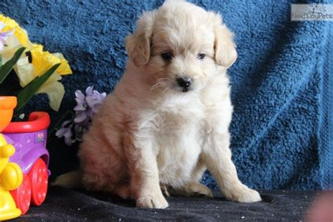 pomapoo puppies for sale near me poma poo pomapoo puppy for sale near lancaster pennsylvania aa9486ed 3811