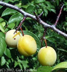 Fruit Tree Spikes - trees of wisconsin prunus americana wild plum
