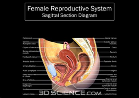 midsagittal section of female reproductive organs male reproductive organs diagram labeled hd m com