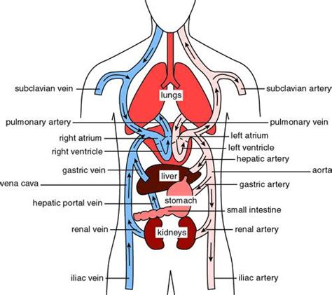 diagram of the circulatory system moved temporarily