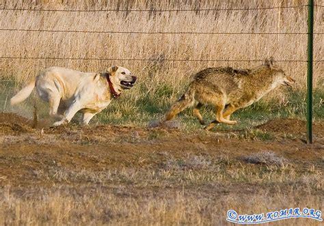 are coyotes dogs farm versus wile e coyote