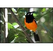 Troupial Venezuela National Bird