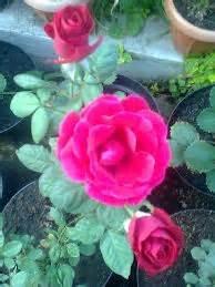 Pupuk Untuk Bunga Begonia cara mudah menanam bunga mawar dalam pot teknik merawat
