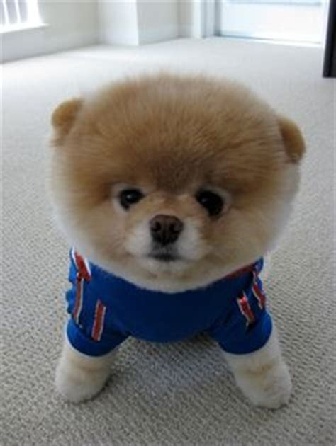 puppies that never grow i want a fluffy puppy that will never grow on chow chow pomeranians and