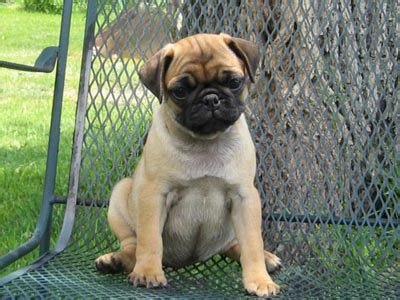 riverhill pugs about riverhillpugs 169 2017 apricot black and fawn akc pug puppies for sale