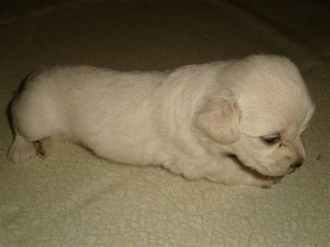 baby pomeranian for sale in singapore japanese spitz puppies for sale adoption in singapore adpostcom breeds picture