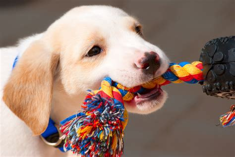 puppy teething tips how to deal with puppy teething blain s farm fleet