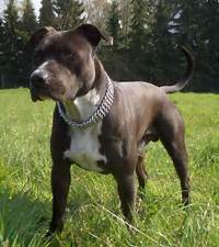 American Staffordshire Terrier Jack Photo And Wallpaper Beautiful