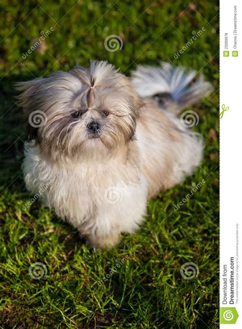 how to my shih tzu puppy to sit shih tzu royalty free stock photos image 23269978