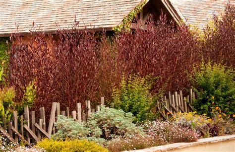 Kitchen Rugs Fruit Design purple hopseed bush dodonaea viscosa purpurea
