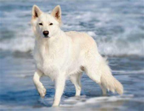 german shepherd americas  popular dogs