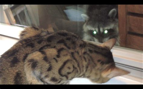 raccoon vs raccoon with cat www pixshark images galleries with a bite