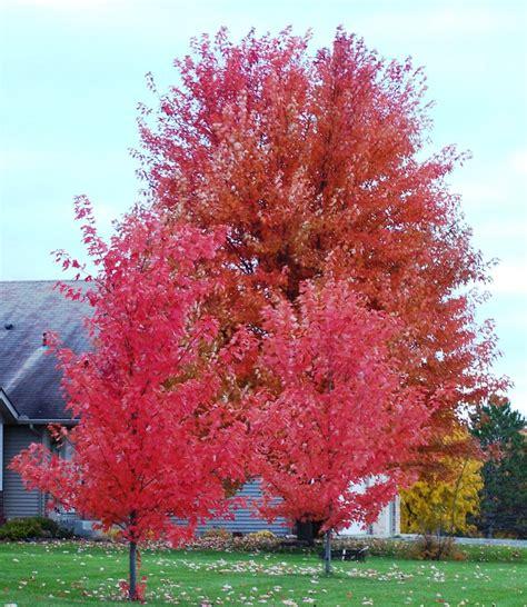 file autumn rocky mountain maple autumn blaze in minnesota blaine mn 55434