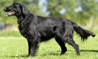 flat coated retriever breed standards