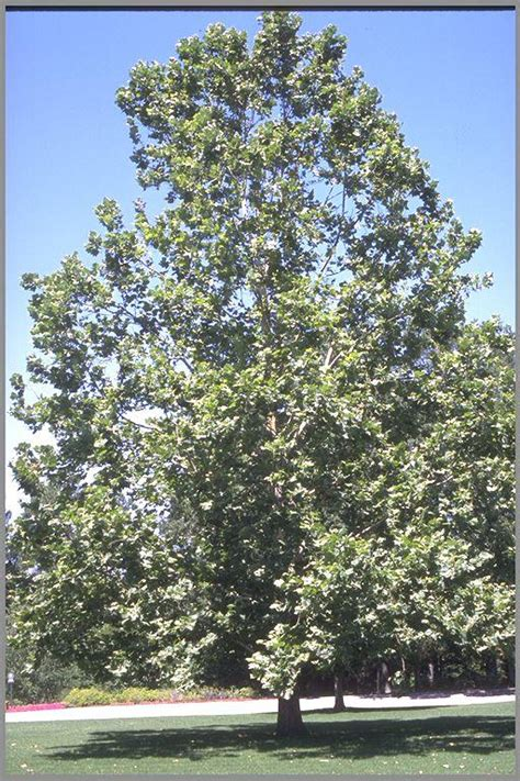 american sycamore plant database american sycamore