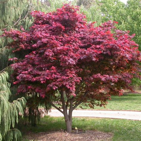 buy a maple tree buy japanese maple trees acer palmatum in ireland shop now