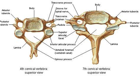 labeled vertebrae diagram cervical spine