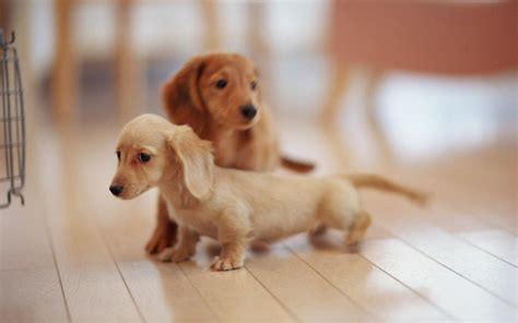 puppy for free dogs wallpaper 1920x1200 46439