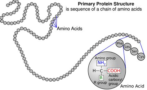 protein diagram file protein primary structure svg
