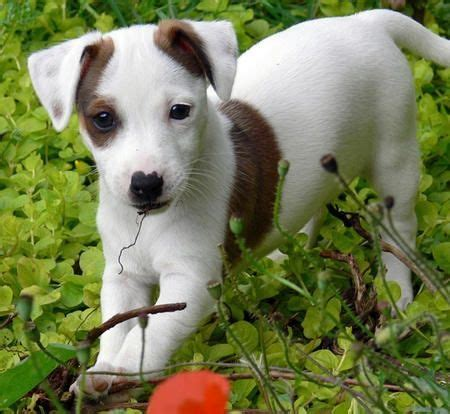 chubby puppies single pack jackrussell terrier toys jack russell terrier on tumblr