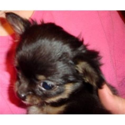 chihuahua puppies michigan chihuahua breeders in michigan freedoglistings breeds picture