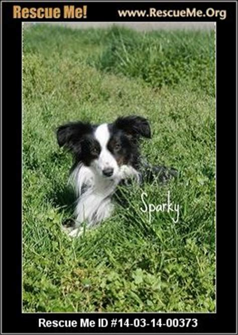 puppy rescue oregon rescue me id 14 03 14 00373 sparky papillon mix age puppy compatibility with